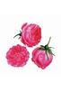 TROIS ROSES - REDOUTE
